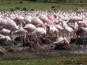 Flamingos near Lake Navaisha
